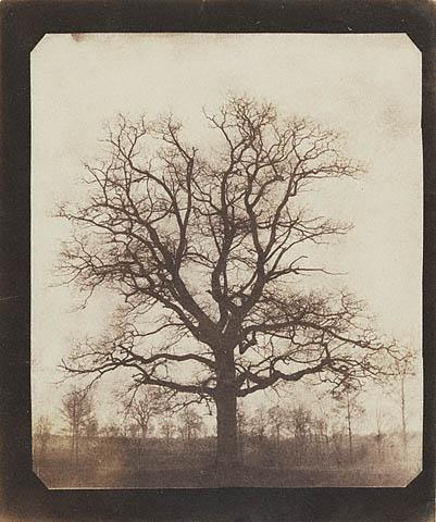Talbot_Oak_tree_in_winter